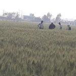 दाईजो कृषि सहकारी द्वारा कृषि सामाग्री  कम्पनी लि. ले किसानहरुको गहुँ परिक्षण(फोटो फिचर)